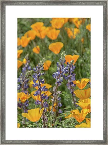 Poppies And Mountain Lupine 5585-030519 Framed Print