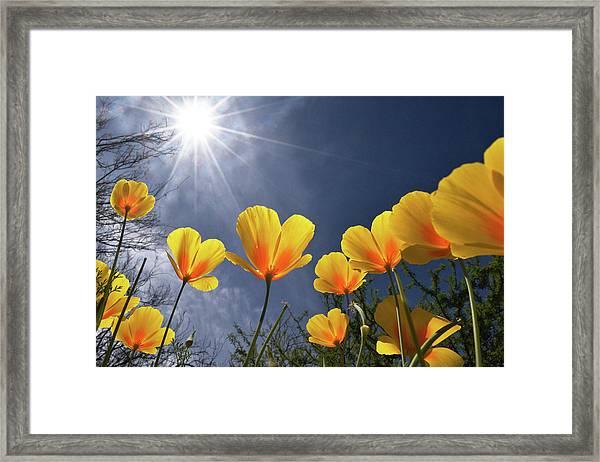 Poppies Enjoy The Sun Framed Print
