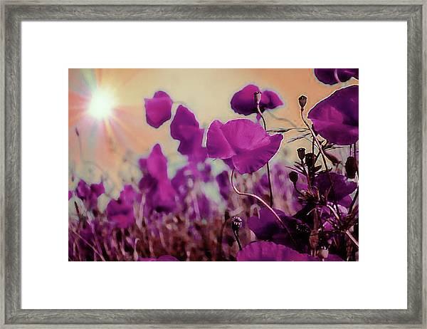 Poppies In Sunlight Framed Print