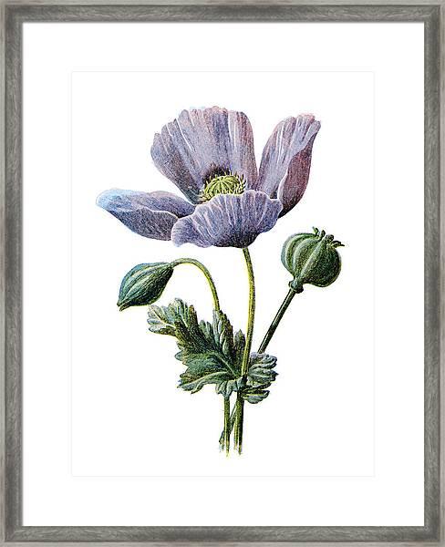 Poppy Flower Framed Print