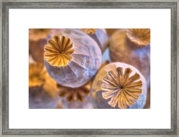 Poppy Seed Pods 2 Framed Print