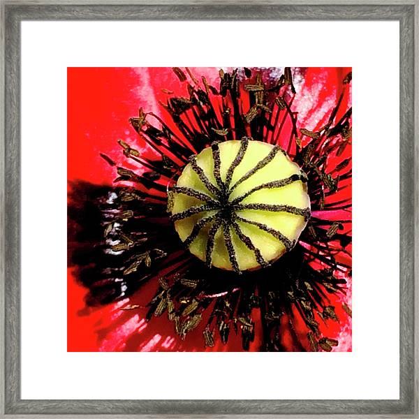 Red Poppy_7822_15 Framed Print