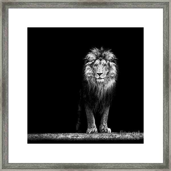 Portrait Of A Beautiful Lion, In The Framed Print by Baranov E