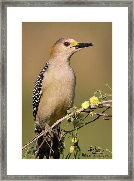 Portrait Of A Golden-fronted Woodpecker Framed Print