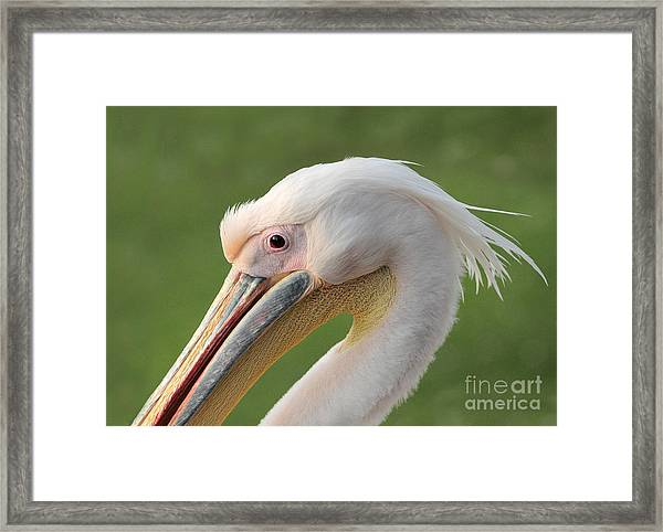 Portrait Of A Great White Or Eastern Framed Print