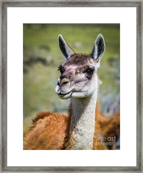 Portrait Of A Guanaco, Patagonia Framed Print