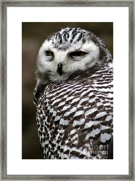 Portrait Of A Majestic Spotted Owl Framed Print