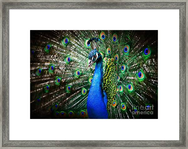 Portrait Of Beautiful Peacock With Framed Print