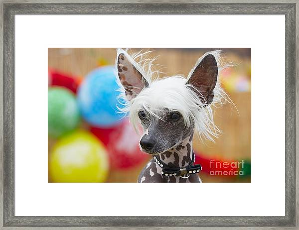 Portrait Of Chinese Crested Dog - Copy Framed Print