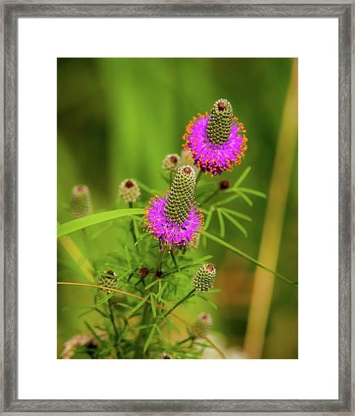 Prairie Clover Framed Print