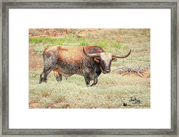 Prairie Longhorn Framed Print
