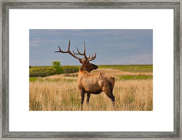 Framed Print featuring the photograph Prairie Wapiti by Bryan Smith