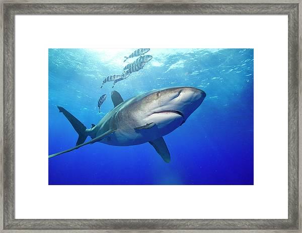 Predatory Oceanic Whitetip Shark Framed Print