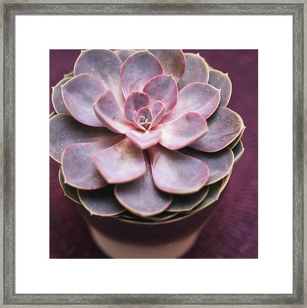 Pretty In Pink, Waxy Bloom On The Framed Print by Jeremy Hopley