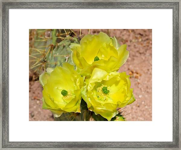 Prickly Pear Cactus Trio Bloom Framed Print