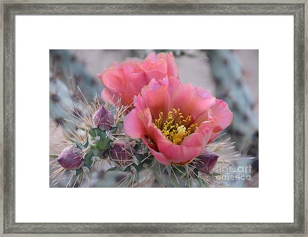 Prickly Pear Cactus With Pink Flowers Framed Print