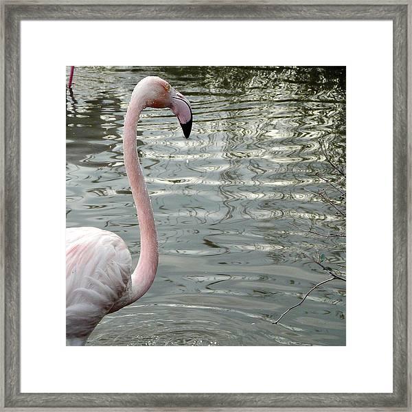 Profile Of Phoenicopterus Flamingo Framed Print