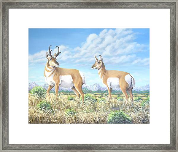 Pronghorn By The Tetons Framed Print