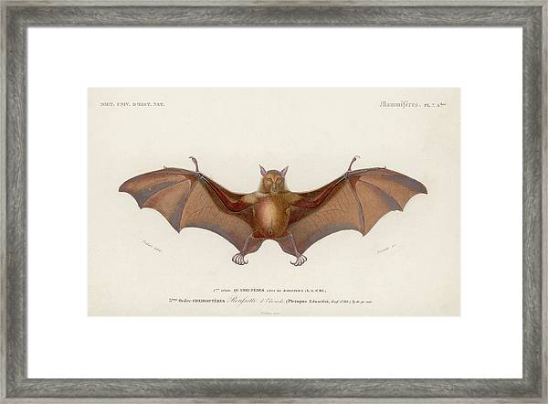 Pteropus Edwardsii Framed Print