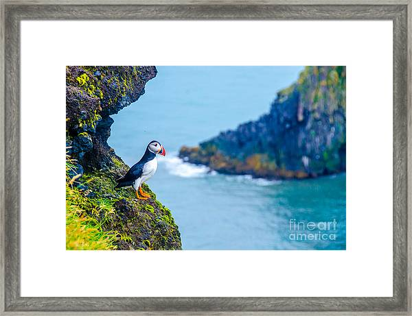Puffin - Iceland Framed Print