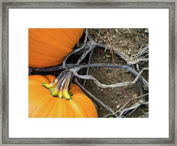 Pumpkins Entwined Together Framed Print