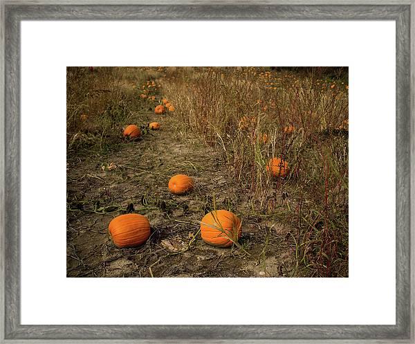 Pumpkins Lying In A Field Framed Print