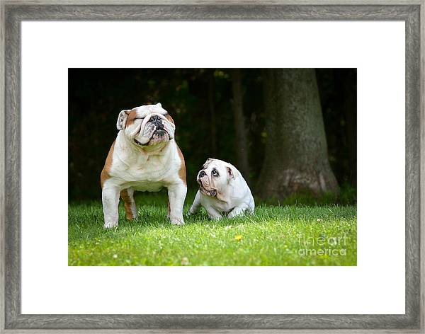 Puppy And Adult Dog Playing Outside - Framed Print