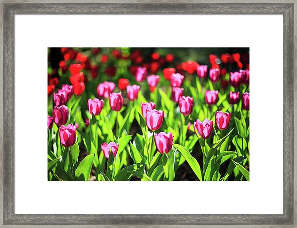 Purple And Red Tulips Under Sun Light Framed Print