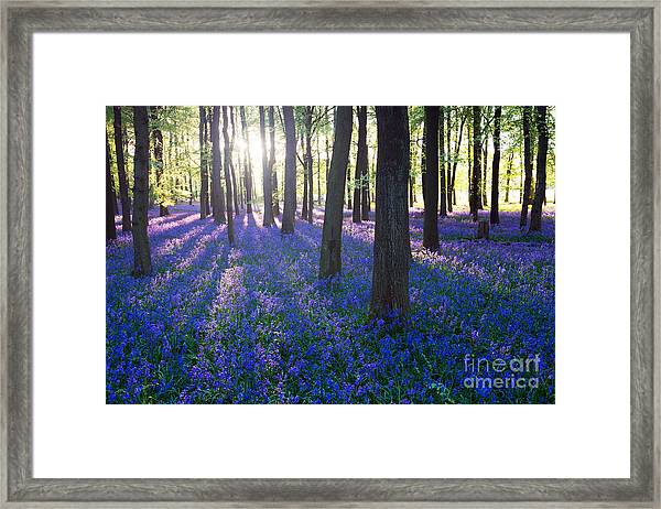 Purple Bluebell Woods In Early Morning Framed Print