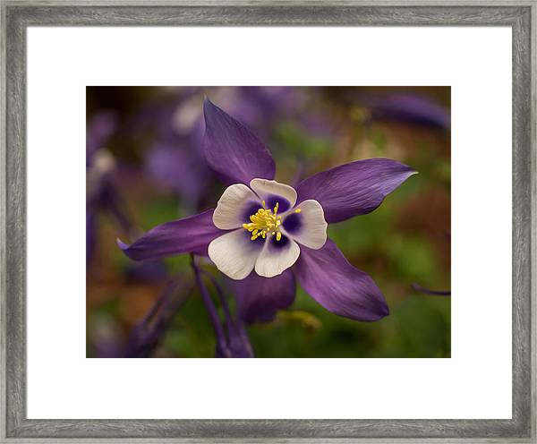 Purple Columbine Framed Print