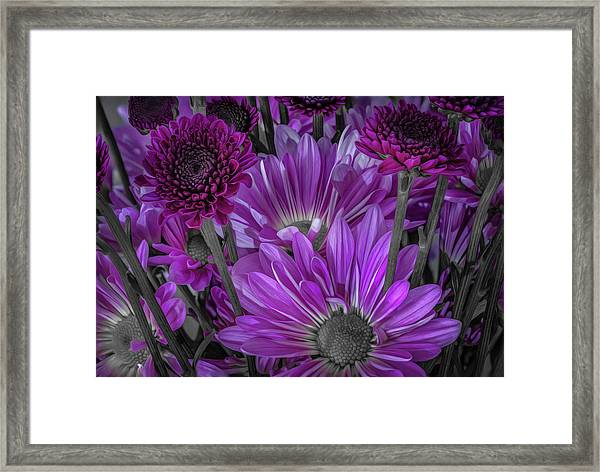 Purple Power Chrysanthem Selective Colorum  Framed Print