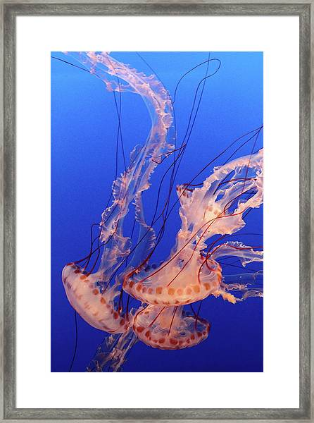 Purple-striped Jellyfish Swimming Framed Print by Rich Lewis