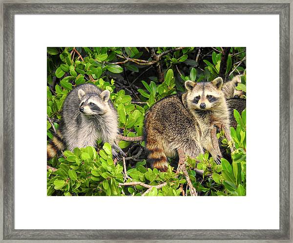 Raccoons In The Mangroves Framed Print
