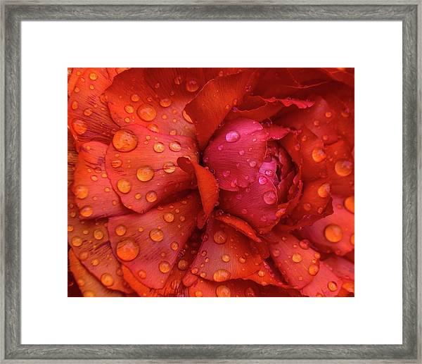 Rain On Ranunculus Framed Print