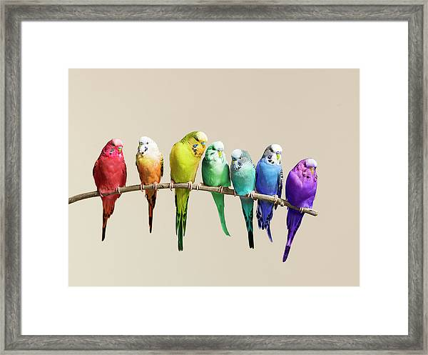 Rainbow Row Of Budgies Sat On A Branch Framed Print by Walker And Walker