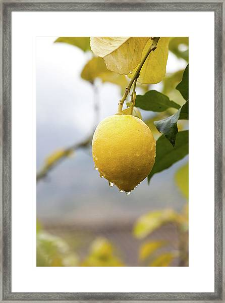 Raindrops Dripping From Lemons Framed Print
