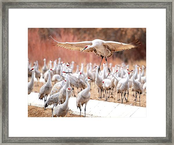 Ready Or Not, Here I Come -- Sandhill Cranes Framed Print