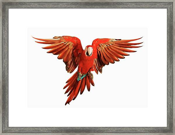 Red-and-green Macaw Ara Chloroptera Framed Print