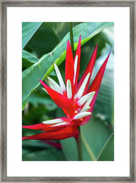 Red And White Birds Of Paradise Framed Print
