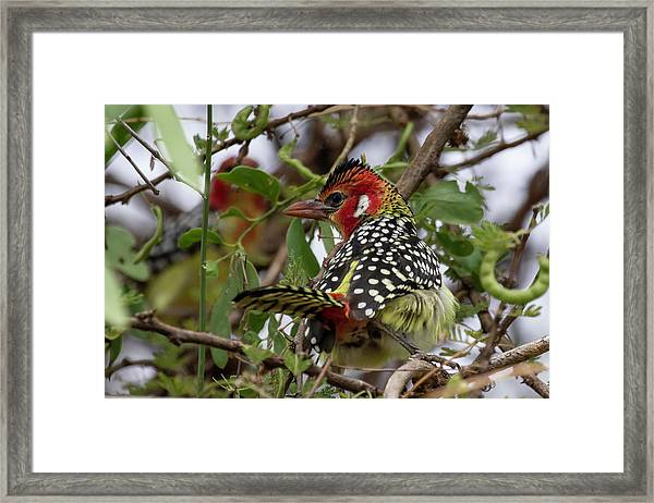 Red-and-yellow Barbet Framed Print