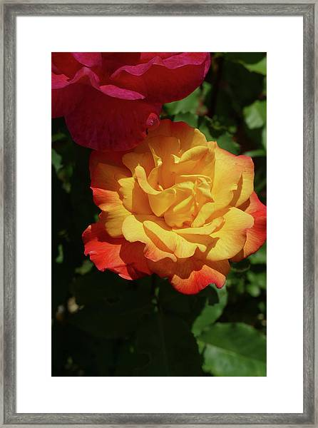 Red And Yellow Rio Samba Roses Framed Print