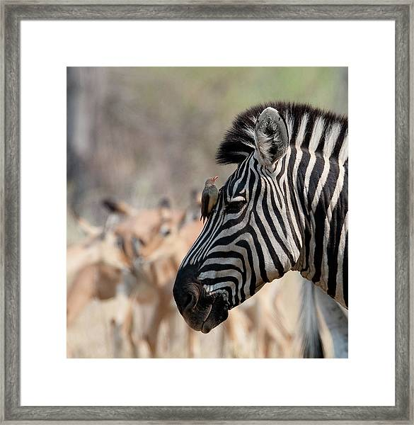 Red-billed Oxpecker Buphagus Framed Print by Gallo Images - Duif Du Toit