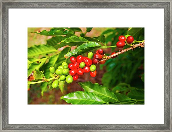 Red Coffee Cherries On The Vine Framed Print by Russ Bishop