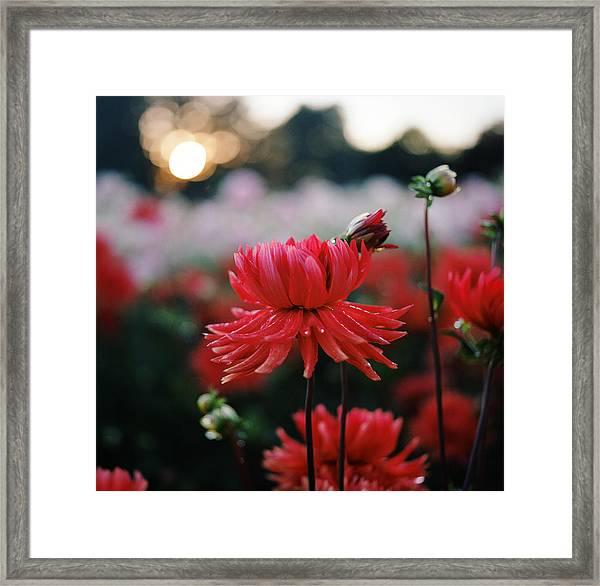 Red Dahlia At Sunset Framed Print
