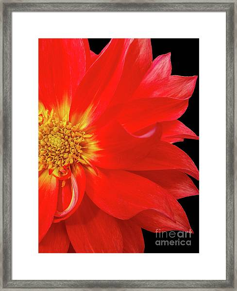 Red Dahlia On Black Background Framed Print
