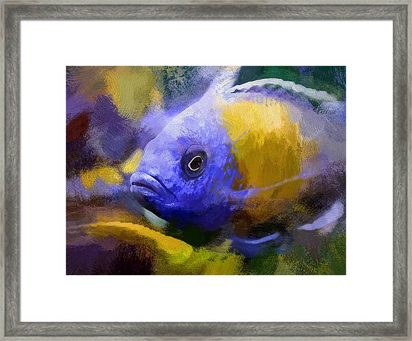 Red Fin Borleyi Cichlid Artwork Framed Print