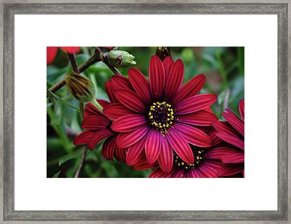 Red Flower - 19-5611 Framed Print