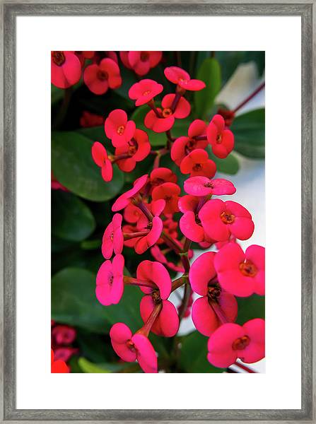 Red Flowers In Bloom Framed Print