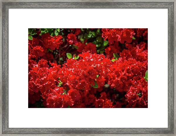 Red Flowers Framed Print