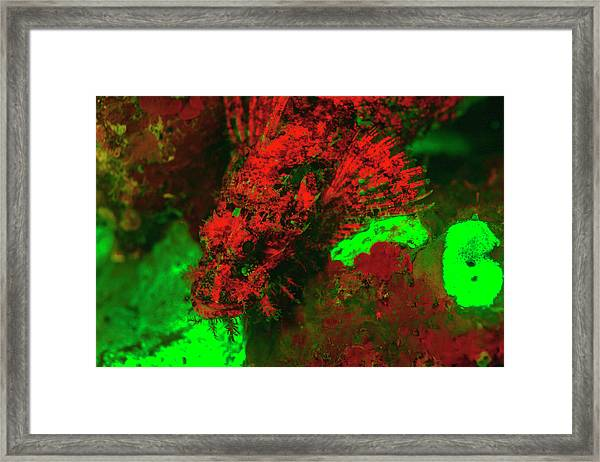 Red Fluorescing Scorpionfish Surrounded Framed Print by Stuart Westmorland